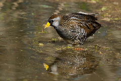 Sora. Wading in the shallow marsh stock image