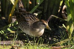 SoraPorzana Carolina. Sora ,small bird in its typical natural environment. The marsh in Wisconsin and other swamps areas in USA and Europe.Migration birds stock images