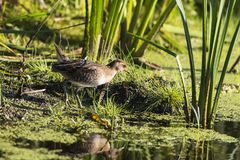 SoraPorzana Carolina. Sora ,small bird in its typical natural environment. The marsh in Wisconsin and other swamps areas in USA and Europe.Migration birds royalty free stock photography