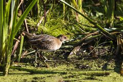 SoraPorzana Carolina. Sora ,small bird in its typical natural environment. The marsh in Wisconsin and other swamps areas in USA and Europe.Migration birds royalty free stock photo