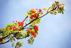 Sorb. A branch from a sorb and a blue sky in the background Stock Images