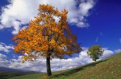 Sorb e árvore de carvalho Imagens de Stock