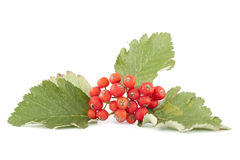 Sorb red. Cluster red sorb with leaf on white background stock photography