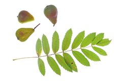 Sorb tree (Sorbus domestica). Leaf and fruits of the sorb tree (Sorbus domestica), in front of a white background Stock Photo
