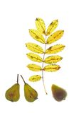 Sorb tree (Sorbus domestica). Autumn leaf and fruits of the sorb tree (Sorbus domestica), in front of a white background Stock Photography