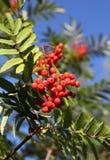 Sorba in autunno con le bacche rosse Immagine Stock