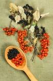 Sorba, Chokeberry, aronia Erbe secche Medicina di erbe, pH Fotografia Stock Libera da Diritti