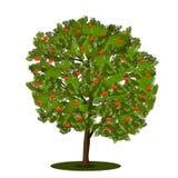 Sorba dell'albero con le foglie verdi Fotografie Stock Libere da Diritti