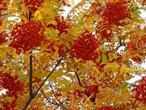 Sorba di autunno del primo piano Immagine Stock