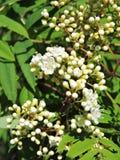 Sorba di fioritura Fotografia Stock Libera da Diritti