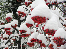 Sorba di inverno Fotografia Stock Libera da Diritti