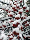Sorba di inverno Fotografia Stock