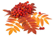 Sorba e foglie Fotografia Stock