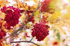 Sorba, fondo di caduta di autunno Ramo, cespuglio Fotografie Stock Libere da Diritti