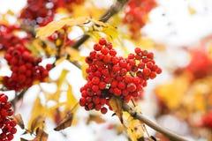 Sorba, fondo di caduta di autunno Ramo, cespuglio Fotografia Stock Libera da Diritti