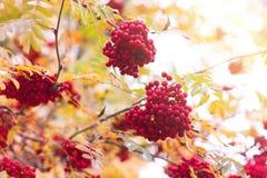 Sorba, fondo di caduta di autunno Ramo, cespuglio Fotografia Stock