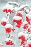 Sorba nella neve Fotografia Stock Libera da Diritti