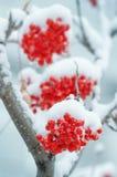 Sorba nella neve Immagine Stock