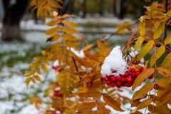 Sorba rossa delle bacche sotto la neve contro lo sfondo delle foglie gialle Immagini Stock Libere da Diritti