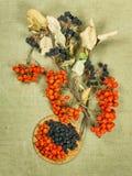 Sorba, sorba, Chokeberry, aronia Erbe secche Erba medica di erbe Fotografie Stock
