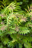 Sorbaria sorbifolia. Stock Photography
