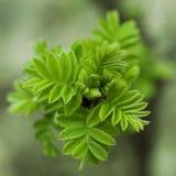 Sorbaria-sorbifolia Frühlings-Blühen Stockfotos