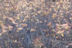 Sorbaria sorbifolia Stock Photo