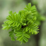 Sorbaria sorbifolia. Spring blossoming. Close up stock photos