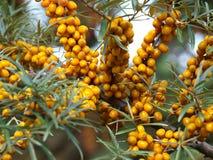 Sorbe-arbre de maturation Photo stock