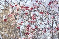 Sorbe avec les baies rouges couvertes de gelée Photos stock