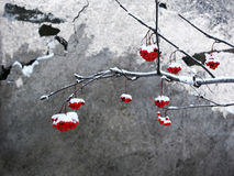 Sorbe dans la neige. Images stock