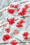 Sorbe dans la neige Image stock