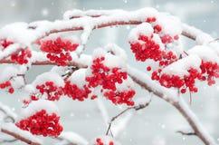 Sorbe dans la neige Images libres de droits