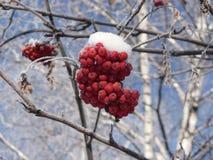 Sorbe en gelée Photo stock