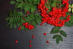 Sorbe et x28 ; berry& x29 de cendre ; Images libres de droits