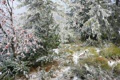 Sorbe et d'autres arbres dans le gel, Slovaquie Photographie stock libre de droits