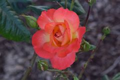 Sorbet ουράνιων τόξων μπουμπούκι τριαντάφυλλου 02 Floribunda Στοκ Εικόνα