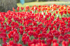 'Sorbet' tulip. A field of red and yellow ' Sorbet' tulips Stock Photos