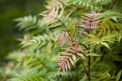 Sorbifolia de Sorbalia Fotografia de Stock Royalty Free
