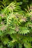 Sorbifolia de Sorbalia. Fotografia de Stock
