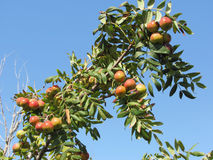 Sorbs in fruit tree . Tuscany, Italy.  Royalty Free Stock Photography