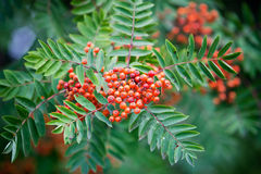 Sorbus. In autumn, selective focus on berries Royalty Free Stock Image