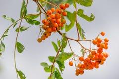 Sorbus Στοκ εικόνες με δικαίωμα ελεύθερης χρήσης