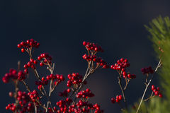 Sorbus aria in autumn season, Vosges, france Stock Images