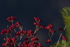 Sorbus aria in autumn season, Vosges, france. Fruits of sorbus aria in autumn season, Vosges, france Stock Images