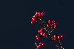 Sorbus aria in autumn season, Vosges, france. Sorbus aria in sunlight, autumn season, Vosges, france Royalty Free Stock Image