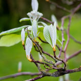 Sorbus aria `Lutescens`, Golden Whitebeam, in bud Royalty Free Stock Image
