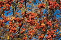 Sorbus aucuparia. Tree at the time of autumn Royalty Free Stock Image