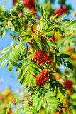 Sorbus. Aucuparia aka rowan.jpg European Rowan ( aucuparia) with fruit Scientific classification Kingdom: Plantae (unranked): Angiosperms (unranked): Eudicots Stock Photo
