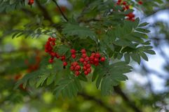 Sorbus aucuparia autumn red fruits on the tree with leaves against blue sky. Sorbus aucuparia autumn red fruits on the tree with green leaves against blue sky royalty free stock photo